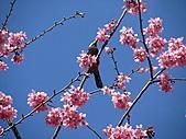 春之花海-武陵賞櫻(2):IMG_2905.jpg