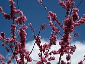 春之花海-武陵賞櫻(1):IMG_6533.jpg