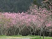 春之花海-武陵賞櫻(2):IMG_2916.jpg