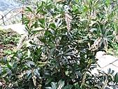 台灣馬醉木、小錦蘭、石月、土肉桂、烏心石:IMG_6523.jpg