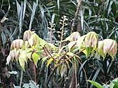 猴硐鐘萼木:IMG_3365.jpg