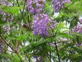 藍花楹:IMG_0362.jpg