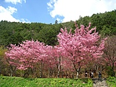 春之花海-武陵賞櫻(1):IMG_6545.jpg