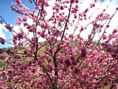 春之花海-武陵賞櫻(1):IMG_6534.jpg