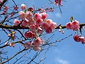 西羅岸賞櫻:IMG_2618.jpg
