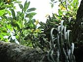 黃萼捲瓣蘭:IMG_1031.jpg