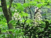 鐘萼木花盛開:IMG_4195.jpg