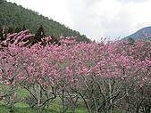 春之花海-武陵賞櫻(2):IMG_2917.jpg