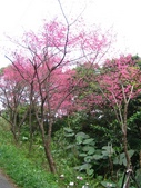 西羅岸賞櫻、美鹿山:IMG_0914.jpg