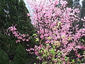 昭和櫻之美:IMG_6846.jpg