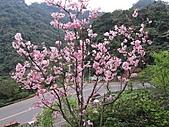 昭和櫻之美:IMG_3004.jpg