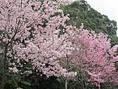 陽明山、竹子湖賞花行:IMG_3019.jpg