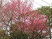 西羅岸賞櫻:IMG_2637.jpg