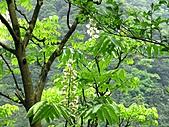 鐘萼木花盛開:IMG_4196.jpg