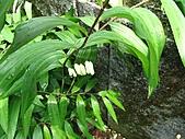 猴硐鐘萼木:IMG_3371.jpg