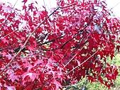武陵楓正紅:IMG_1586.jpg