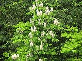 鐘萼木花盛開:IMG_4197.jpg
