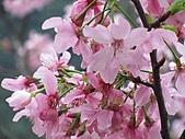 昭和櫻之美:IMG_3005.jpg