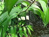 猴硐鐘萼木:IMG_3372.jpg