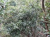 台灣馬醉木、小錦蘭、石月、土肉桂、烏心石:IMG_2888.jpg