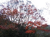 武陵楓正紅:IMG_1598.jpg