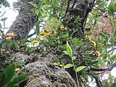 黃萼捲瓣蘭:IMG_1025.jpg