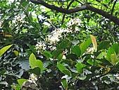 鐘萼木花盛開:IMG_4239.jpg