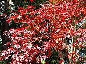 武陵楓正紅:IMG_1457.jpg