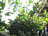 黃萼捲瓣蘭:IMG_1032.jpg