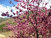 春之花海-武陵賞櫻(1):IMG_6536.jpg