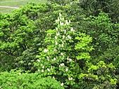 鐘萼木花盛開:IMG_4198.jpg