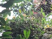 黃萼捲瓣蘭:IMG_1028.jpg