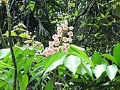 鐘萼木花盛開:IMG_4180.jpg