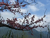 西羅岸賞櫻:IMG_2620.jpg