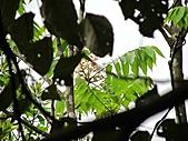 猴硐鐘萼木:IMG_3375.jpg