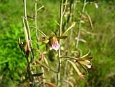 禾草芋蘭:IMG_4164.jpg