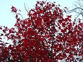 武陵楓正紅:IMG_1587.jpg