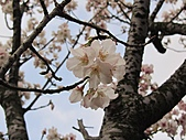 陽明山、竹子湖賞花行:IMG_3029.jpg