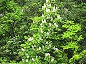 鐘萼木花盛開:IMG_4199.jpg