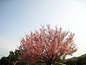 天元宮吉野櫻:IMG_6995.jpg