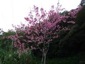 西羅岸賞櫻、美鹿山:IMG_0911.jpg