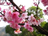 西羅岸賞櫻、美鹿山:IMG_0905.jpg