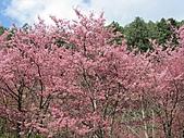 春之花海-武陵賞櫻(2):IMG_2912.jpg