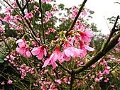 昭和櫻之美:IMG_6861.jpg
