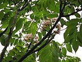猴硐鐘萼木:IMG_3377.jpg