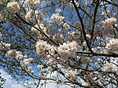 春之花海-武陵賞櫻(2):IMG_2899.jpg