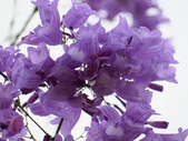 藍花楹:IMG_0390.jpg