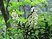 鐘萼木花盛開:IMG_4184.jpg