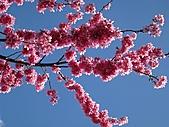 春之花海-武陵賞櫻(1):IMG_6538.jpg