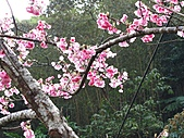 西羅岸賞櫻:IMG_2622.jpg